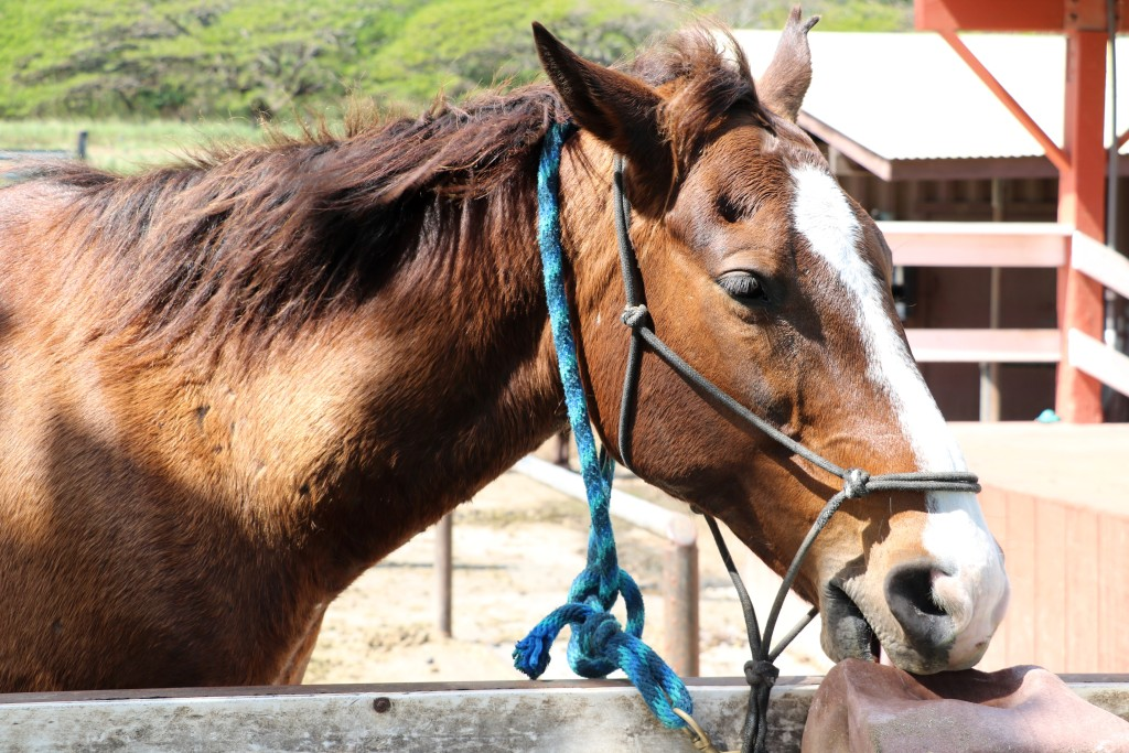 Horse at Kualoa ranch